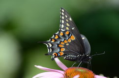Black Swallowtail Butterfly. A Black Swallowtail Butterfly sitting on a cone flower in Toronto, Ontario, Canada stock photography