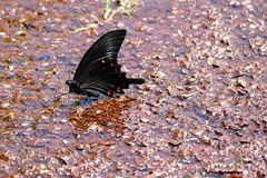 Black swallowtail butterfly on a street in Ebino kogen, Kyushu, Japan. Black swallowtail butterfly perched on a street in Ebino kogen, Kyushu, Japan royalty free stock images