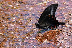 Black swallowtail butterfly on a street in Ebino kogen, Kyushu, Japan. Black swallowtail butterfly perched on a street in Ebino kogen, Kyushu, Japan stock photos