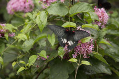 Black swallowtail butterfly sucking nectar from flowers Stock Photo