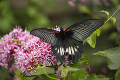 Black swallowtail butterfly sucking nectar from flowers Stock Photos