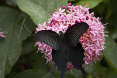Black swallowtail butterfly sucking nectar from flowers Royalty Free Stock Images