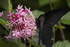 Black swallowtail butterfly sucking nectar from flowers Royalty Free Stock Photo