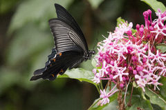 Black swallowtail butterfly sucking nectar from flowers Stock Images