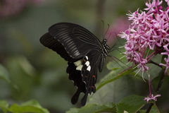 Black swallowtail butterfly sucking nectar from flowers Royalty Free Stock Photography