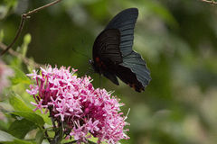 Black swallowtail butterfly sucking nectar from flowers Stock Photography