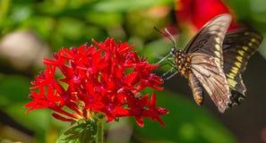 Black Swallowtail Butterfly at Sunken Gardens. Black Swallowtail Butterfly on Red Penta at Sunken Gardens, Florida stock photography
