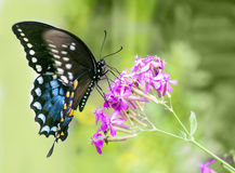 Black Swallowtail butterfly Stock Photos