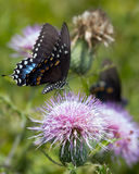 Black Swallowtail Butterfly on a thistle flower. Black Swallowtail Butterfly on a pink thistle flower royalty free stock photo