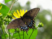 Black Swallowtail Butterfly on Yellow Flowers Stock Photo