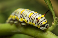 Black Swallowtail Caterpillar Stock Photos