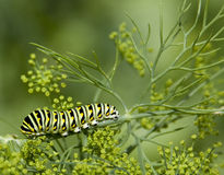 Black swallowtail caterpillar Royalty Free Stock Photos