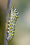 Black Swallowtail Caterpillar Royalty Free Stock Image