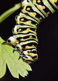 Black Swallowtail Caterpillar - Butterfly larva, also called a Parsley worm. A large yellow black and white swallowtail butterfly caterpillar munching on a Stock Images