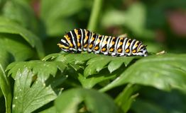 Black Swallowtail Caterpillar - Butterfly larva, also called a Parsley worm. A large yellow black and white swallowtail butterfly caterpillar munching on a Stock Image