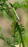 Black Swallowtail Caterpillar Royalty Free Stock Images