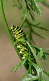 Black Swallowtail Caterpillar Stock Image
