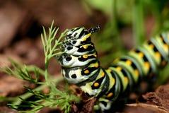 Black Swallowtail Caterpillar Royalty Free Stock Photo