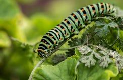 Black swallowtail caterpillar. Corfu Ionian Islands Greece Europe.n Royalty Free Stock Photos