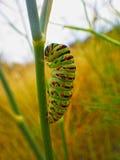 Black swallowtail caterpillar Stock Photography