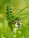 Black Swallowtail caterpillar feasting on dill. Closeup of a Black Swallowtail caterpillar feasting on dill Stock Photo