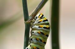 Black Swallowtail Caterpillar (Papilio polyxenes). Close up of Black Swallowtail Caterpillar (Papilio polyxenes Royalty Free Stock Photo