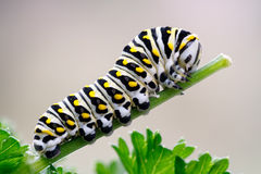 Black Swallowtail Caterpillar on Parsley Stock Photos