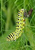 Black Swallowtail caterpillars, Papilio polyxenes Royalty Free Stock Image