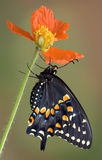 Black swallowtail clinging to poppy Royalty Free Stock Images