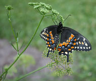 Black Swallowtail close-up (Papilio polyxenes) Stock Images