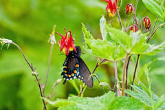 Black swallowtail on columbine Royalty Free Stock Image