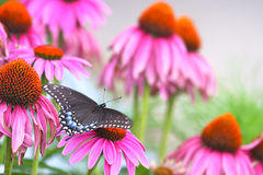 Black Swallowtail among Echinacea. American Black Swallowtail (Papilio polyxenes) Butterfly among purple Echinacea flower blossoms Royalty Free Stock Photos