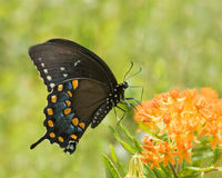 Black Swallowtail II. Black Swallowtail Perched on a Orange Butterfly Plant Royalty Free Stock Photo
