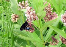 Black Swallowtail on milkweed flower on farmland. Black Swallowtail Papilio polyxenes The Eastern Black Swallowtail butterfly is a common visitor to open fields royalty free stock images