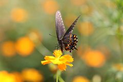 Black Swallowtail nectars on yellow cosmos. Royalty Free Stock Image