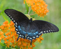 Black Swallowtail. Perched on a Orange Butterfly Plant Stock Image