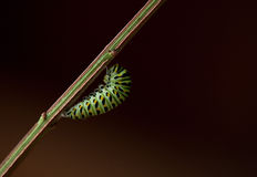 Black Swallowtail ready for chrysalis. Black swallowtail caterpillar is ready to become a chrysalis and hangs from a branch by a small thread Stock Photography
