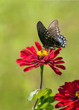 Black Swallowtail on red Zinnia. Black Swallowtail sipping nectar on red Zinnia Stock Photo