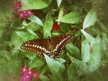 Black Swallowtail Butterfly on a Pentas Leaf. A Black Swallowtail rests on the leaf of a pentas plant Royalty Free Stock Photo