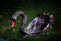 Black swam Royalty Free Stock Images