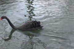 Black Swam stock video footage