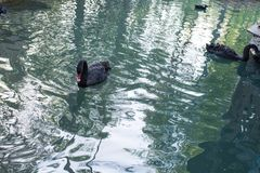 Black swam swimming in a pond. Wildlife Stock Photos