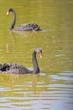 Black swam Stock Image