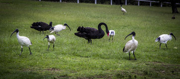 Black swam and white ibis in Centennial park. A group of birds, black swams and white ibis are hanging around in Centennial park Stock Photos