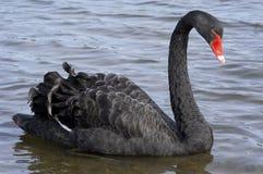 Black swan. Swimming on lake Stock Images