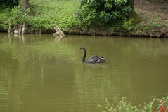 Black Swan. A black swan in a wild pond stock image