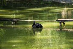 The black swan stock photo
