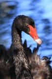 Black Swan. A close up of a Black Swan (Cygnus Atratus Stock Image
