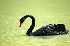 Free Black Swan Stock Photo - 1657140