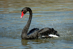 Black Swan. Splashing at Lindo Lake, San Diego, California Royalty Free Stock Image